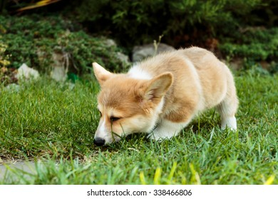 Corgi puppy sneaking in the grass and sniffing