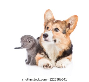 Corgi puppy and tiny kitten looking away together. Isolated on white background