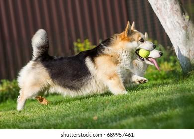 Corgi runs on the back call with the ball in the teeth