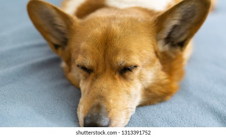 Corgi snoozing on the bed