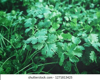 Coriander background or texture