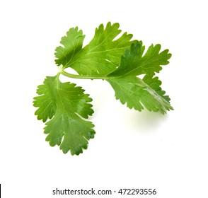 Coriander cilantro leaves isolated on white