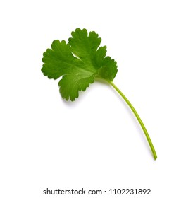 Coriander garden, cooking herb Isolated against a white background.