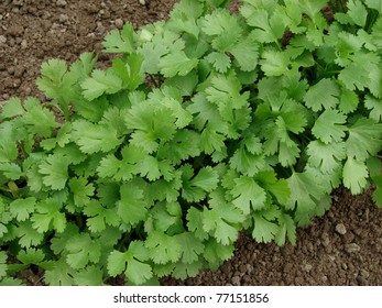 coriander growing on vegetable bed