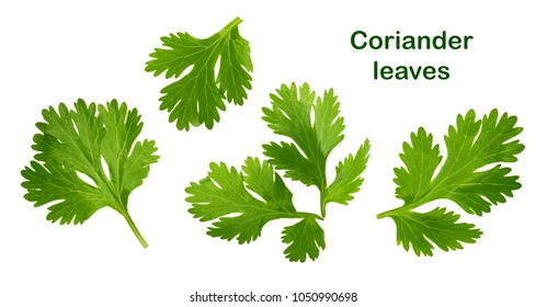 Coriander leaf isolated without shadow