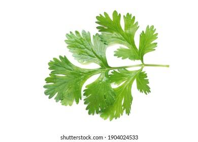 coriander leaf on white background.
