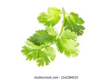 Coriander leaves isolated on white background
