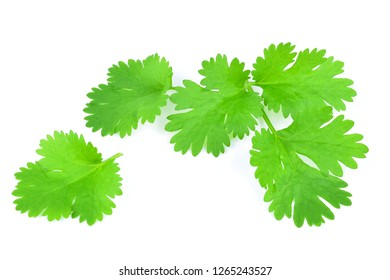 Coriander leaves on white background.