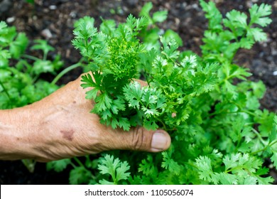 Coriander, the main vegetable in Thailand. coriander in the hand of old man