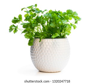 Coriander  plant in a pot isolated on white
