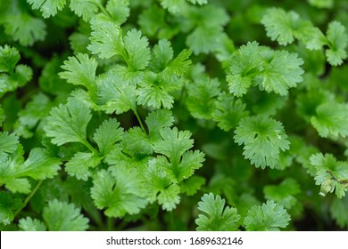 Coriander plant in vegetables garden for health, food and agriculture concept design. Organic coriander leaf background.