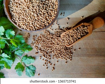 Coriander seeds, fresh green cilantro leaves on wooden background. Coriander seed in bowl & cilantro (chinese parsley) green leaf on kitchen table. Dry coriander cilantro spice for meat or healthy tea