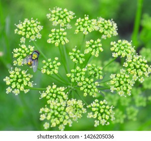 Coriander seeds, fresh green cilantro leaves on wooden background. Coriander seed in scoop & cilantro (chinese parsley) green leaf on kitchen table. Dry coriander cilantro spice for meat, healthy tea
