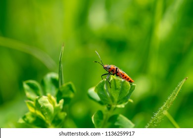 Corizus hyoscyami (also known as the cinnamon bug or black and red squash bug) is a scentless plant bugs perched on a plant leaf