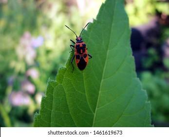 Corizus hyoscyami bug on leaf