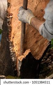 CORK OAK, MEN WORKING IN CORK HARVEST (Quercus suber)