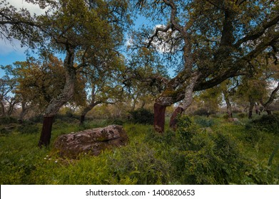 cork oak Quercus suber grows naturally only in the western Mediterranean