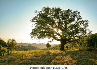 Cork oak tree (Quercus suber) and mediterranean landscape in evening sun, Alentejo Portugal Europe