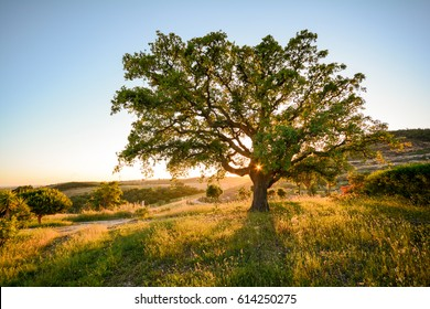 Cork oak tree (Quercus suber) in evening sun, Alentejo Portugal Europe