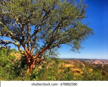 Cork Oak Tree; cork oak shortly after harvesting