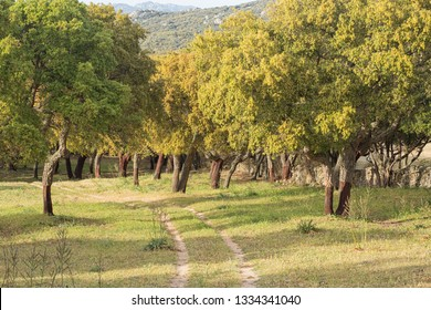 Cork oaks barking in Sardinia countryside
