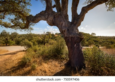 Cork oaks in the Portuguese countryside. The rural plantation for processing cork bark.