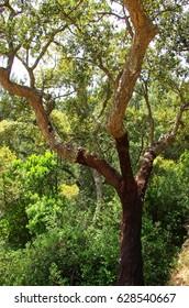 Cork tree at Natural Park of Serra de Ossa, Alentejo. Portugal