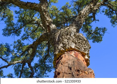 cork tree stripped, corkwood, cork tree in andalusia, cork tree from under, Spain cork tree, spanish nature, andalusian tree, andalusian nature, los alcornocales, natural parque, cork tree