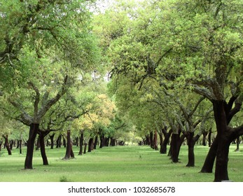Cork trees field, Alentejo Portugal