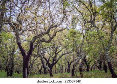 Cork trees forest in Alentejo region in Portugal