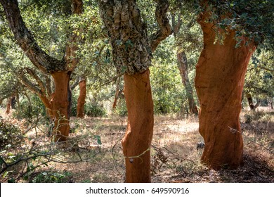 Cork trees (Quercus Suber) with moss in Sardinia, Italy.  The bark is recently harvested for making wine bottle corks.