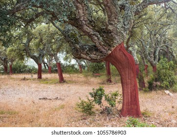 Cork trees in Sardinia, Portuguese cork oak after harvest.