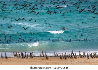 cormorant birds on a beach of Musandam in Oman, close to their nesting grounds