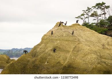 Cormorant Birds on a Island of Matsushima in Japan 2018.