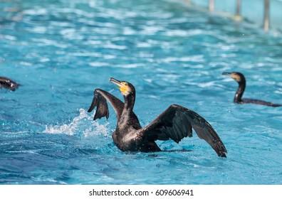 Cormorant Black cormorant playing in water