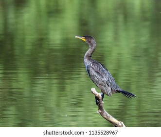 Cormorant and a branch.