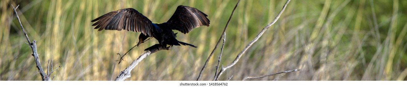 Cormorant carries nesting material in a marsh