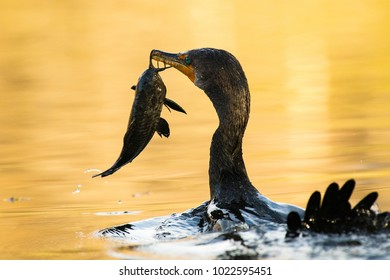 A Cormorant with A catfish Holding it by its Whiskers Getting Ready to Swallow it