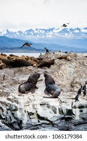 Cormorant colony on an island at Ushuaia in the Beagle Channel Beagle Strait, Tierra Del Fuego, Argentina