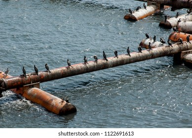 Cormorant Colony On The pipes- Otaria flavescens - Cruise Port Salaverry - Peru
