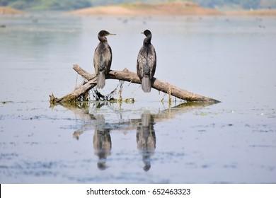 Cormorant Couple Sun Bathing
