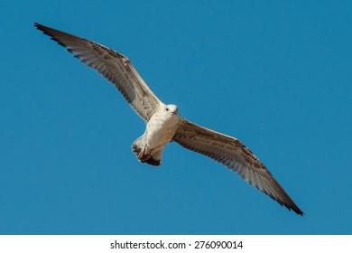 cormorant flying in sky