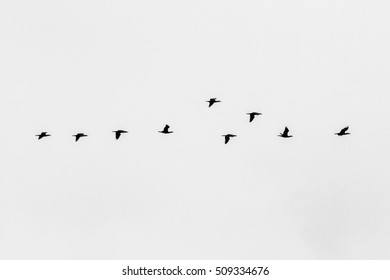 cormorant group