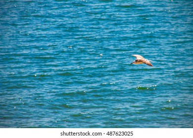 Cormorant Gull flying over the ocean sea, nature background