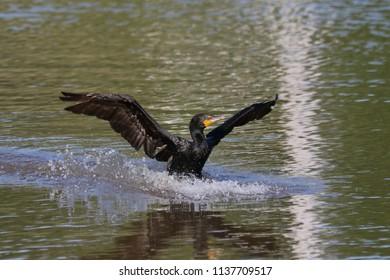 Cormorant landing on the river.
