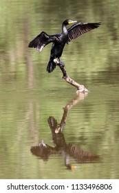 Cormorant on a log.