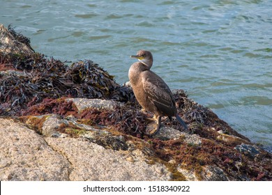 A Cormorant on rocks at Mevagissey harbour, Cornwall