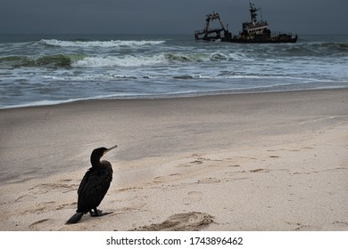 Cormorant on skeleton coast in namibia staring at a ship wreck hit by waves