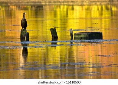 Cormorant  perched on a log with the reflection of colors of autumn surrounding it.
