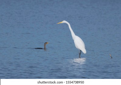 A cormorant, Phalacrocorax auritus, shares a fishing spot with a great egret, Ardea alba, on Lake Caroline, in the Red River National Wildlife Refuge.